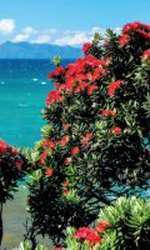 Pohutukawa din Noua Zeelandă