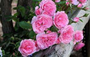 uleiul esențial de trandafiri tratează depresia