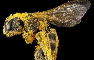 Motive să introduci polenul de albine în alimentația ta