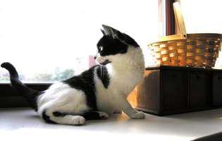 pisica are gaze, pisica la geam