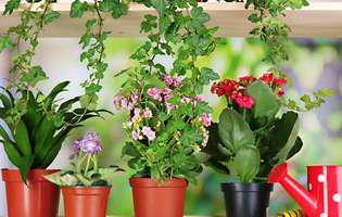 problemele plantelor la ghiveci