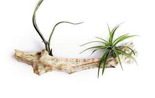 Cum să crești plantele de aer sau plantele aeriene Tillandsia. Ce trebuie să știi despre îngrijirea lor