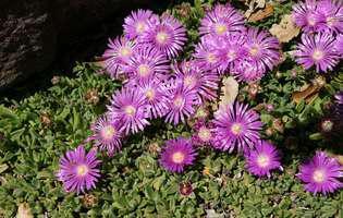 Floarea de cristal, perfectă pentru grădinile însorite