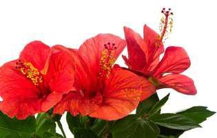 Cele mai frumoase 5 plante cu flori roșii. Sunt strălucitoare de Sărbători!