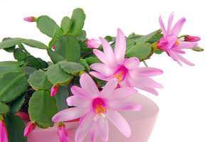 Cea mai sigură metodă să înmulțești cactusul de Crăciun