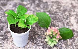 Înmulțirea prin butași. Ce plante pot fi înmulțite în luna martie