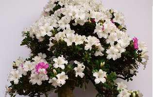 Cum se îngrijește un bonsai