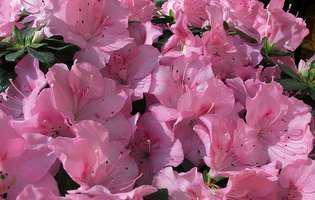 Azaleea, un trandafir cu pretenţii