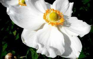 Anemonele, florile vântului