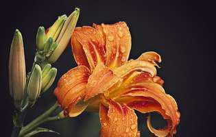 Frumoasa zilei, floarea de aur