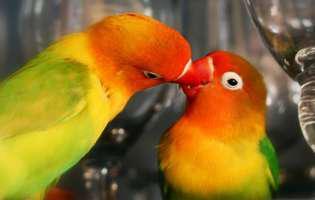 Agapornis, papagalii amorezi