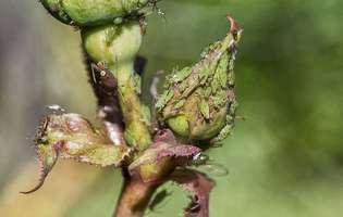Cele mai bune soluții să scapi de afide, păduchii plantelor