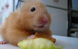 Hamsterul auriu, un şoricel fără mofturi