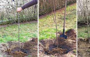 Metoda corectă pentru plantarea pomilor fructiferi