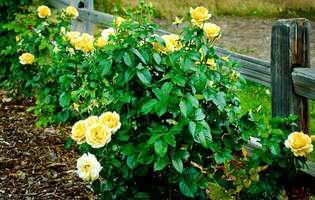 Uite cât de simplu este să înmulțești trandafirii!