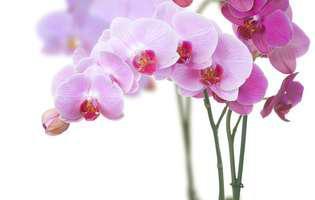 Cum se îngrijesc corect orhideele