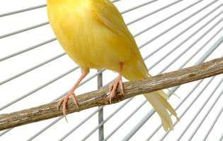 Canarii, cei mai buni cântăreți de colivie