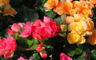 Cum îngrijești begonia să înflorească ani de-a rândul
