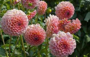 Florile daliilor, bijuterii colorate pentru grădină și ghivece