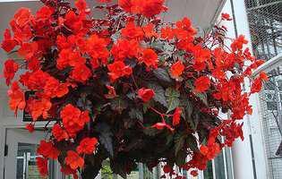 Begonia, planta care îți colorează casa