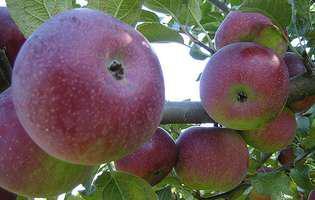 Mănâncă un măr pe zi timp de două luni și vezi rezultatul