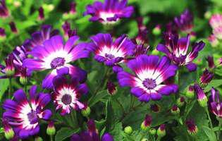 Cineraria, floarea care dă culoare iernii