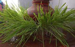 De ce se pune grâu la încolțit