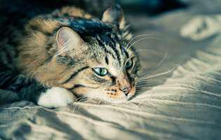 semne că pisica e bolnavă
