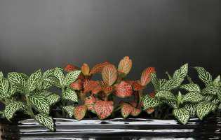 fittonia, planta decorativă specială