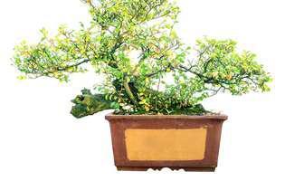 sfaturi utile despre plantele bonsai
