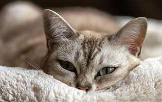 Cât poate rezista pisica fără apă și mâncare