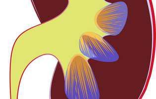 Insuficiența renală cronică poate fi tratată pentru a se întârzia evoluția bolii. Imagine cu rinichiul.