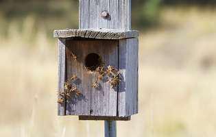 viespi, cuib de viespi