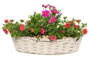 Flori care alungă țânțarii. Uite ce poți cultiva la ferestre!