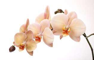 de ce se ofilesc florile de orhidee