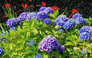hortensie, gradina cu flori