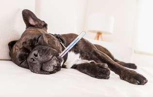 temperatura și sănătatea câinelui tău