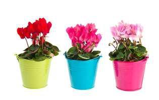 cum plantezi bulbi de ciclame