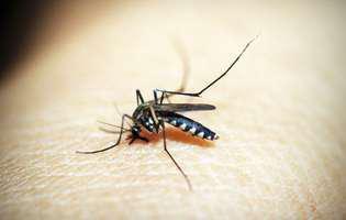 Febra galbenă este o infecție virală care se răspândește cu ajutorul unui țânțar și care produce în cazurile ușoare febră, greață, cefalee și vomismente. Imagine cu țânțar
