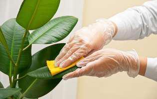 cum e bine să ștergi frunzele plantelor de interior