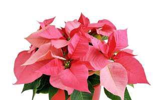 cum să înmulțești Crăciunița sau Poinsettia