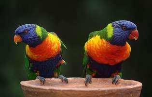 De ce papagalii vorbesc mai mult decât alte păsări