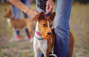învață câinele cu botnița de mic