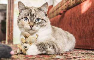 Cum înveți pisica să își facă nevoile la litieră