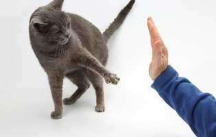 pisica agresivă cu musafirii