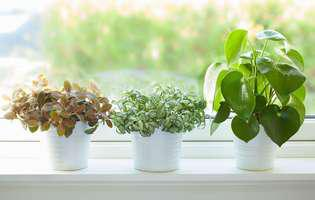 cum salvezi plantele când încep să se îngălbenească