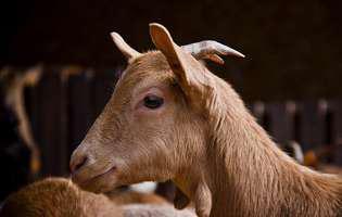 Laptele de capră la copii. Avantajele consumului de lapte de capră