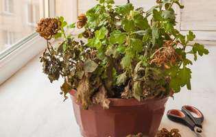 cum salvezi o plantă bolnavă