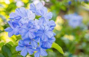 Floarea dragostei, o frumusețe pe care nu o poți uita!