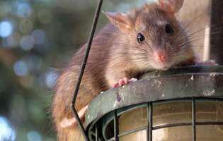 Febra mușcăturii de șobolan este o boală infecțioasă care poate fi cauzată de două specii diferite de bacterii,Streptobacillus moniliformis, care conduce la febra mușcăturii de șobolan streptobacilară și de Spirillum minus care conduce la febra mușcăturii de șobolan spirilară sau sodoku. Imagine cu șobolan care poate fi purtător al acestor bacterii